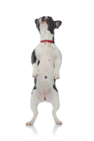 french bulldog puppy with red dog collar standing on back legs looking up on white background Stock Photo