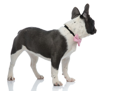 side view of a french bulldog looking back wearing a pink bowtie on white background