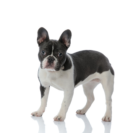 side view of a french bulldog standing on white background Stock Photo