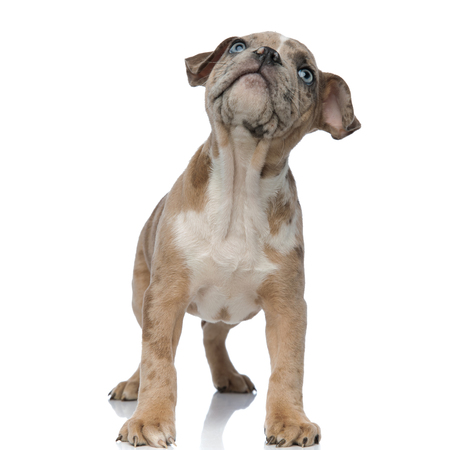 American bully puppy standing and looking up curiously on white background
