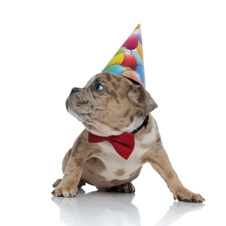 American bully puppy wearing bowtie and birthday cap on white background