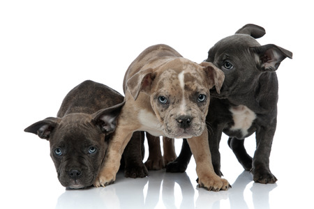 3 American bully dogs sitting and standing together being shy on white background