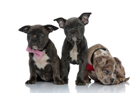 3 American bully dogs with pink and red bowties sitting and standing together sniffing on white background
