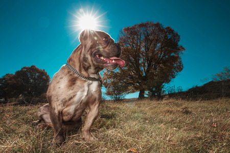 side view of an American bully looking away and sitting in a field while panting Stok Fotoğraf
