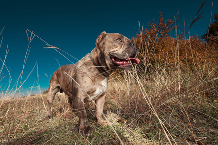 side view of American bully standing and looking away while panting Stock Photo - 118498285