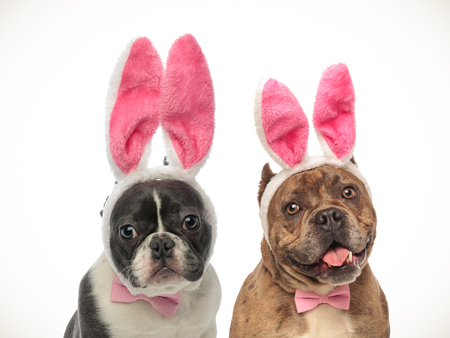 french bulldog and american bully puppies wearing bunny ears for easter on white background