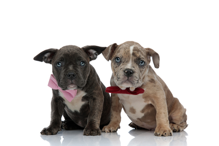 Amstaff puppies felling guilty and looking upwards with their mouths closed while begging and sitting on white studio background