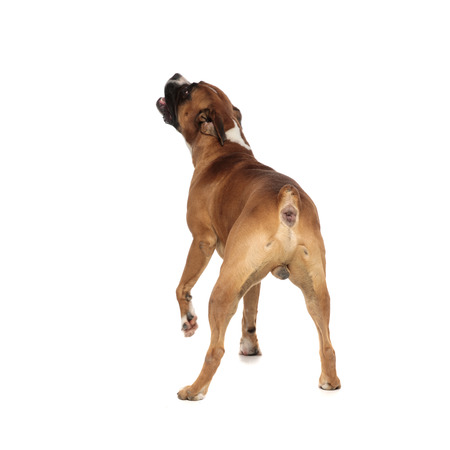 beutiful boxer captured from behind, looking up and to a side, preparing to strecth trying to reach something above it on a light background
