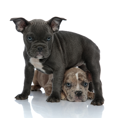 Front view of scared American Bully puppy laying down below its friend who is frowning and protecting him, on white studio background