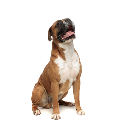 beutiful boxer relaxing by sitting on his rear paws while looking up and to a side on a light background