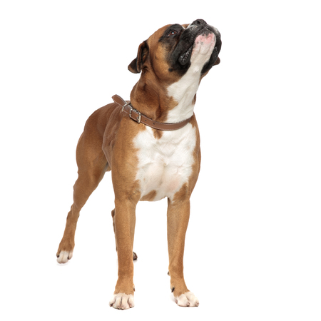 adorable boxer standing and looking curiously up and to a side on a light background