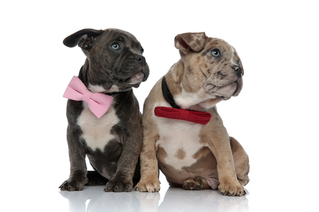 Clumsy Amstaff puppies staring to the side with their mouths closed and wearing bow ties while being seated on white studio background 免版税图像