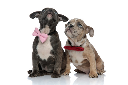 American Bully puppies curiously staring up and wearing bow ties while sitting on white studio background Reklamní fotografie