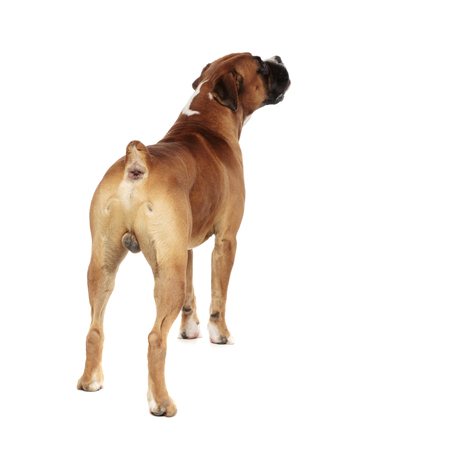 beutiful boxer captured from behind, looking up and to a side, on a light background
