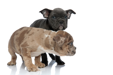Two American Bully puppies, one being scared and frightened while the other one is frowning to the camera, both standing on white studio background Reklamní fotografie