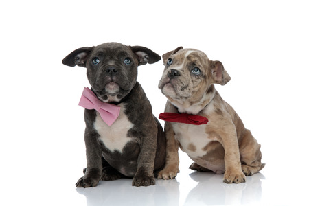 Frightened Amstaff puppies looking up with their mouths closed while wearing bow ties and sitting down on white studio background