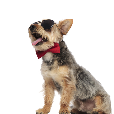 Yorkshire Terrier sitting, panting and looking sideways while wearing sunglasses and red bow tie on white studio background 版權商用圖片