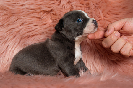 Side view of cute American Bully puppy sitting with its mouth closed while being petted and looking to the side on furry pink background