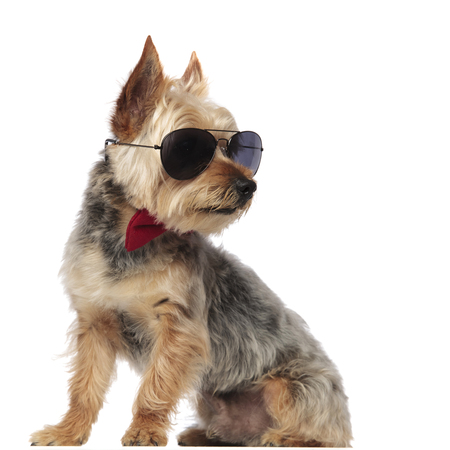 Yorkshire Terrier sitting and looking sideways while wearing sunglasses and a red bow tie on white studio background 스톡 콘텐츠