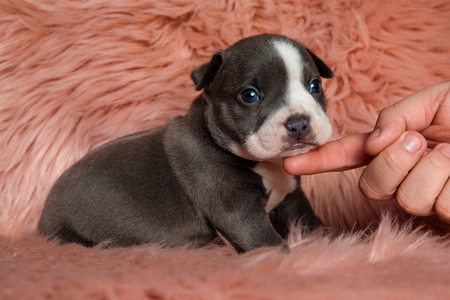 Adorable American Bully puppy sitting sideways with its mouth closed while being petted and looking forward on furry pink background 免版税图像