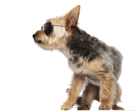 Side view of a Yorkshire Terrier wearing sunglasses , standing in an action posture on white studio background 스톡 콘텐츠