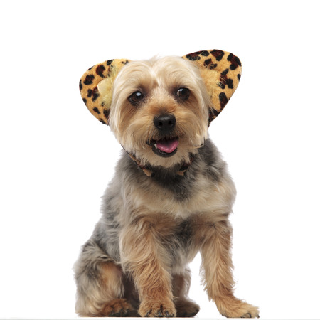 Picture of a Yorkshire Terrier panting and wearing a headband with feline ears on white studio background