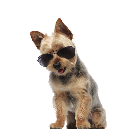 Cute Yorkshire Terrier wearing sunglasses and panting on white studio background 스톡 콘텐츠