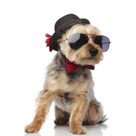 Yorkshire Terrier sitting and looking sideways while wearing sunglasses, bow tie and a decorated hat on white studio background 스톡 콘텐츠