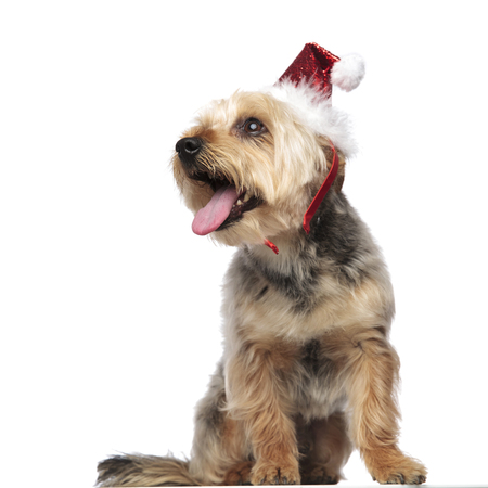 Portrait of a Yorkshire Terrier wearing a Santa Claus hat, sitting and looking towards panting with its mouth wide open