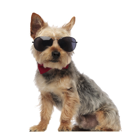 Yorkshire Terrier sitting and looking forward while wearing sunglasses and a red bow tie on white studio background