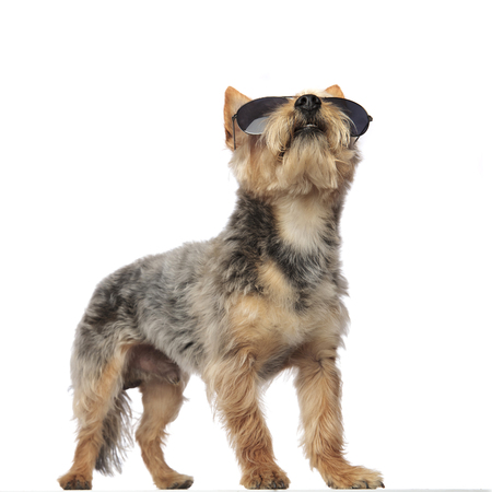 Yorkshire Terrier standing in an action posture and looking upwards on white studio background