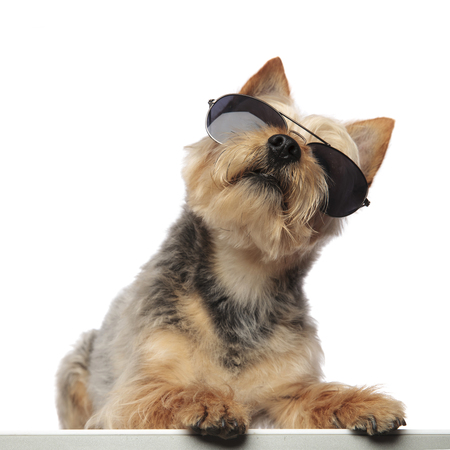 Portrait of a Yorkshire Terrier looking upwards and wearing sunglasses on white studio background