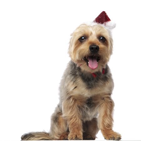 Yorkshire Terrier wearing a Santa Claus hat while sitting and looking at camera panting on white studio background