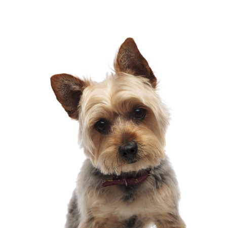 Portrait of cute Yorkshire Terrier wearing a red collar whilst looking confused to the camera on white studio background