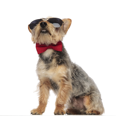 Yorkshire Terrier sitting and looking upwards while wearing sunglasses and red bow tie on white studio background