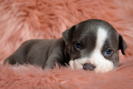 Adorable Amstaff puppy sitting with its mouth closed while lovely looking forward on furry pink background