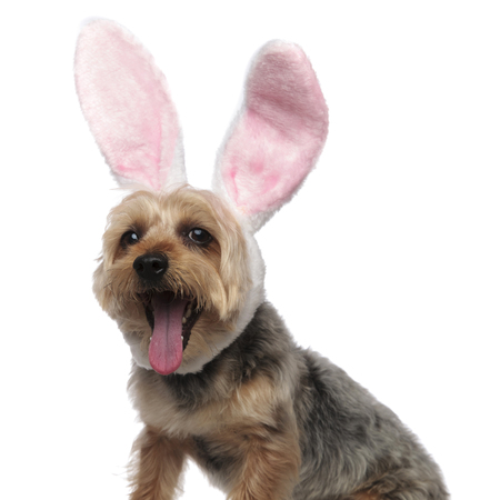 Portrait of a Yorkshire Terrier yawning and wearing a funny rabbit ears costume on white studio background 스톡 콘텐츠
