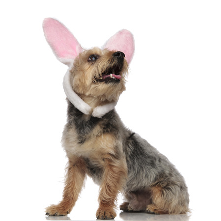 Sitting Yorkshire Terrier wearing rabbit ears and looking upwards on white studio background