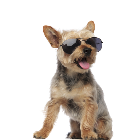 Yorkshire Terrier wearing sunglasses while looking sideways and panting on white  background studio 스톡 콘텐츠