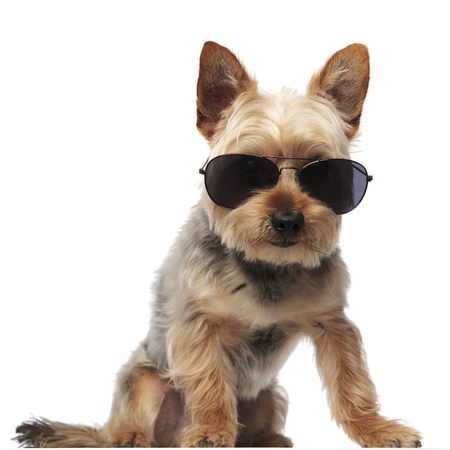 Photo of a sitting Terrier Yorkie wearing sunglasses and looking towards the camera on white studio background