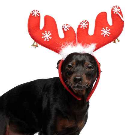 small adorable dog wearing raindeer horns on his head, standing while looking straight forward at the camera, on a light background