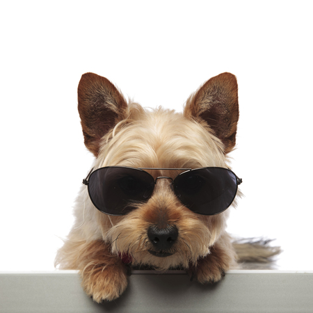 Yorkshire Terrier sitting down and looking forward while wearing sunglasses and bow tie on white studio background