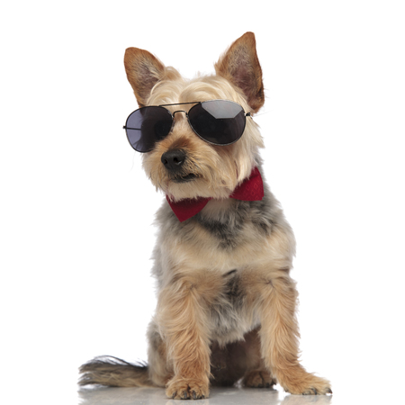 Yorkshire Terrier sitting, wearing sunglasses and a red bow tie on white studio background