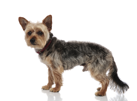 Side view of an adorable Yorkshire Terrier with red collar standing up on white studio background