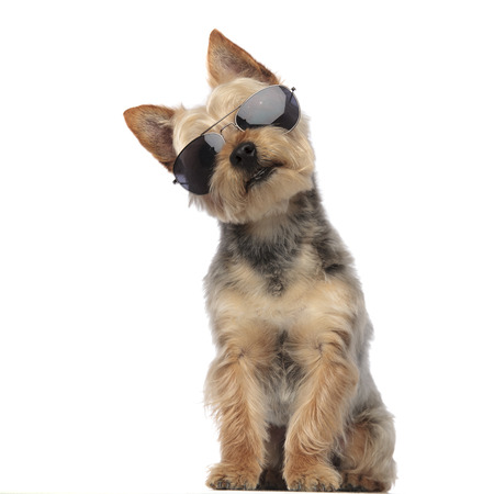 Portrait of Yorkshire Terrier with his head tilted looking confused and wearing sunglasses on white studio background