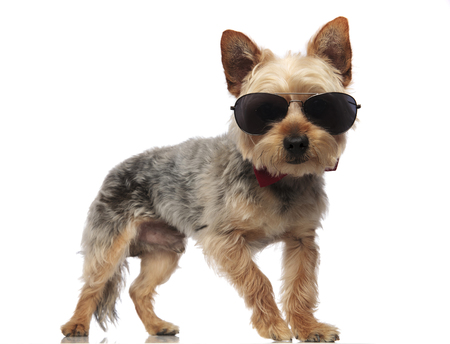 Yorkshire Terrier standing with its mouth closed while wearing sunglasses and a red bow tie on white background studio