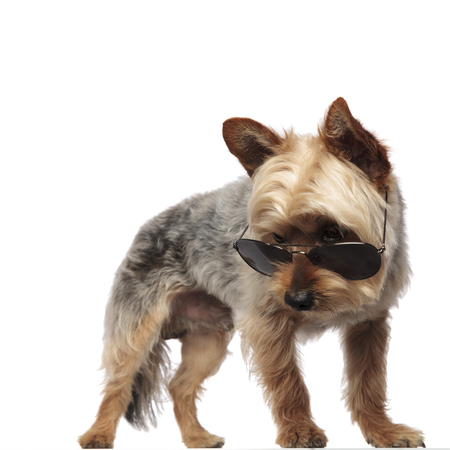 Yorkshire Terrier standing and looking downwards while wearing sunglasses on white studio background