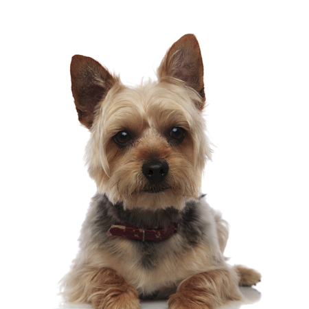 Portrait of a sitting Yorkshire Terrier with its mouth closed and red collar on white studio background Stock Photo