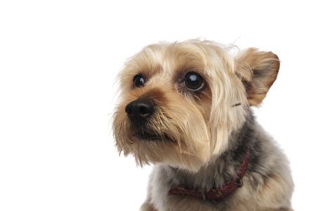 Portrait of a scared and frightened Yorkshire Terrier with a red collar on white studio background