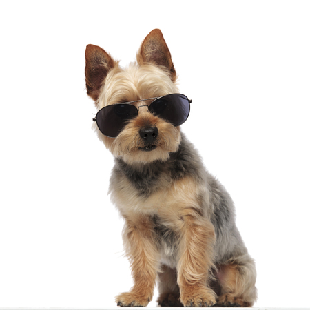 Cute Yorkshire Terrier wearing sunglasses and sitting on white studio background
